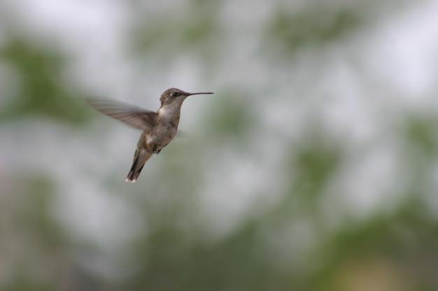 Obraz brzęczącego ptaka unoszącego się w powietrzu na tle liści i zachmurzonego nieba