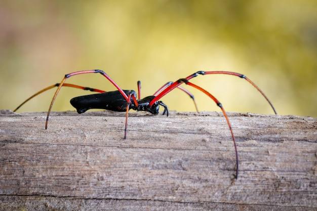 Obraz czarnego pająka tkacza pająka na drzewie (nephila kuhlii). owad. zwierzę