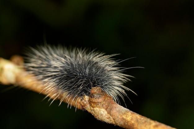 Obraz czarnego robaka gąsienicowego (eupterote tetacea) z białymi włosami na gałęzi. owad,. zwierzę.