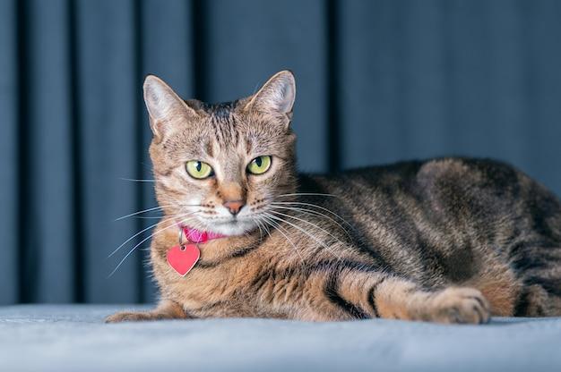Obraz figlarnego kota rasowego bengalskiego w różowym kołnierzu. pojęcie opieki i miłości do zwierząt domowych. różne środki przekazu