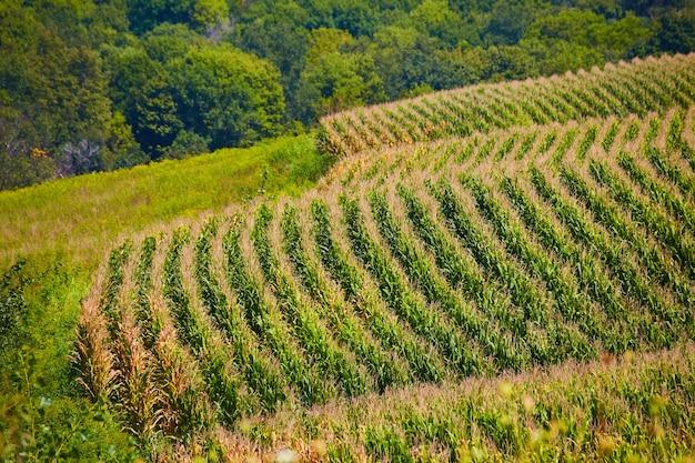 Obraz krajobrazu rzędów pola kukurydzy