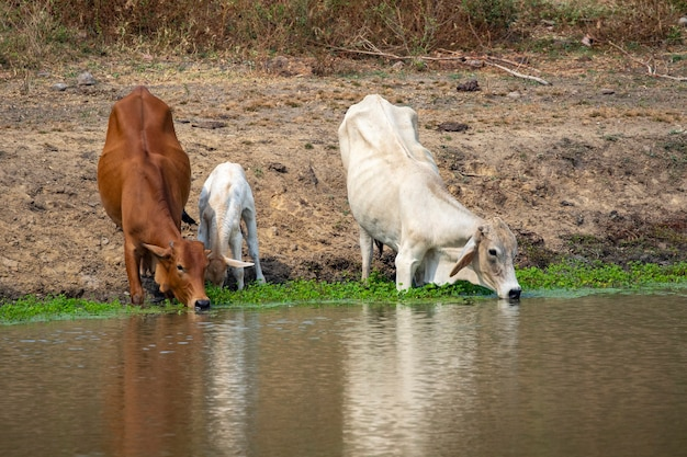 Obraz krów, które piją wodę w bagnie na tle przyrody. zwierzę hodowlane.