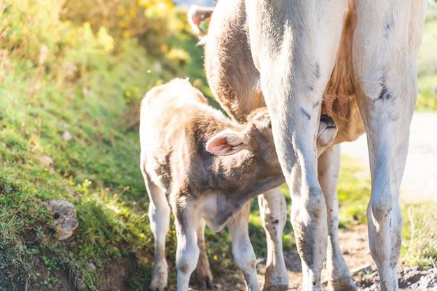 Obraz krowy karmiącej swoje dziecko łydki mlekiem w naturze.