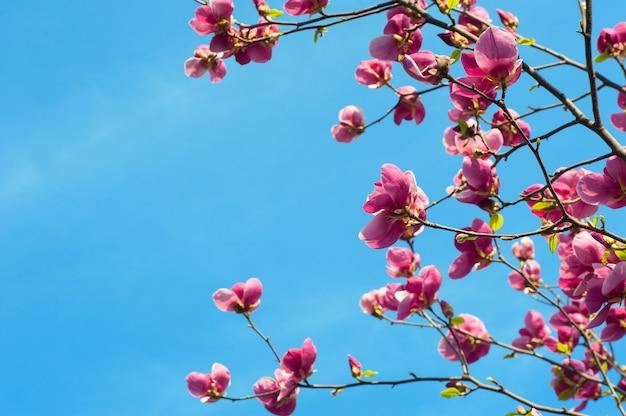 Obraz kwitnących kwiatów magnolii w okresie wiosennym