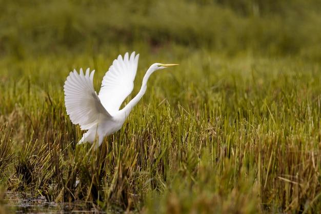 Obraz latającego czapli białej (ardea alba). czapla, białe ptaki, zwierzęta.