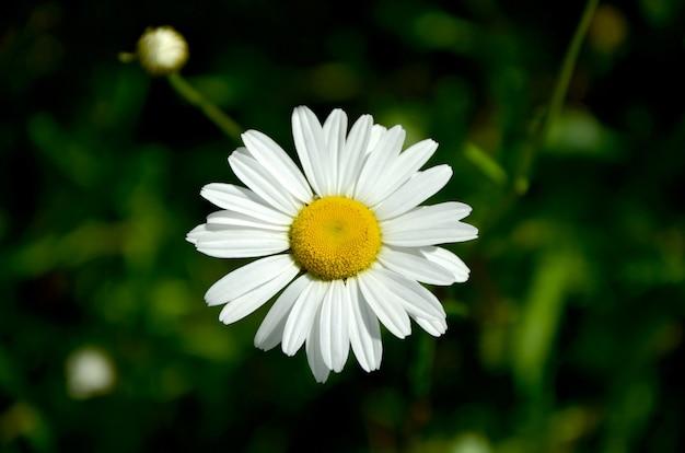 Obraz makro kwiatu rumianku na tle zieleni