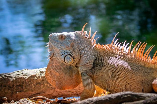 Obraz morph pomarańczowo-zielony iguana na naturalnym tle .. zwierzę. gady