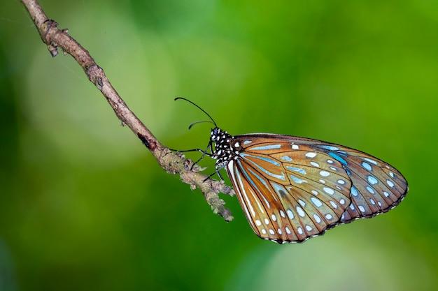 Obraz motyla (the pale blue tiger) na przyrodę. owad zwierząt