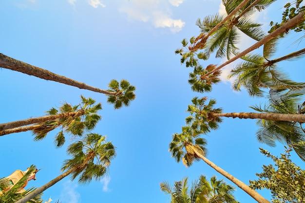 Obraz patrzenia na kępę wysokich palm z błękitnym niebem