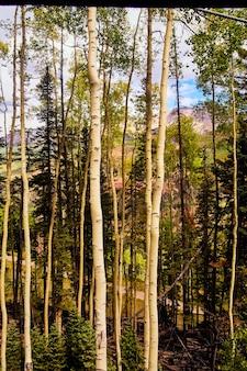Obraz pionowy wysokich pni osiki w górach