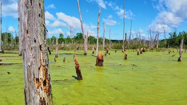 Obraz pni drzew na bagnach pokrytych zielonymi algami