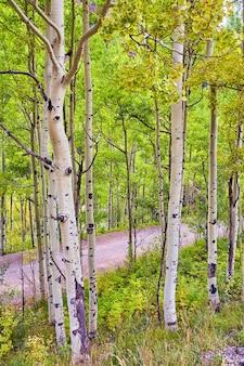 Obraz prostej ścieżki spacerowej przez las ze szczegółami pni osiki w pobliżu jesieni