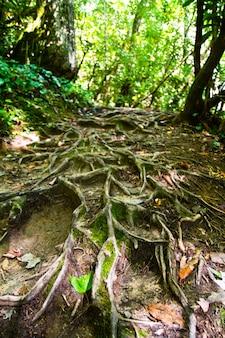 Obraz przedstawiający duże korzenie drzew biegnące po stromej ścianie klifu