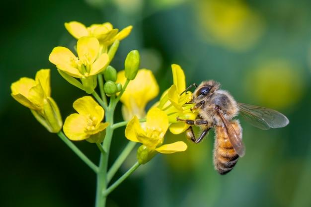 Obraz pszczoły lub pszczoły miodnej na kwiatku zbiera nektar. złota pszczoła miodna na pyłku kwiatowym z rozmyciem miejsca na tekst.