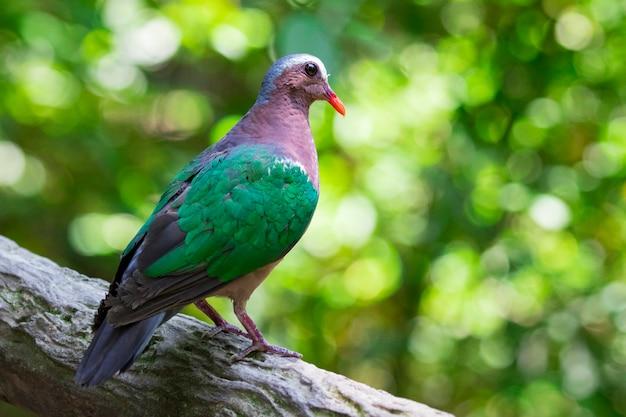 Obraz ptaka (common emerald dove) na tle przyrody. zwierząt.