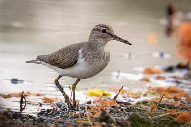 Obraz ptasznika zwyczajnego (actitis hypoleucos) szukającego pokarmu na bagnach. ptak. zwierząt.