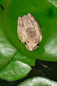 Obraz rzekotka drzewna, rzekotka drzewna czterolistna, rzekotka drzewna złota (polypedates leucomystax) na liściu lotosu.