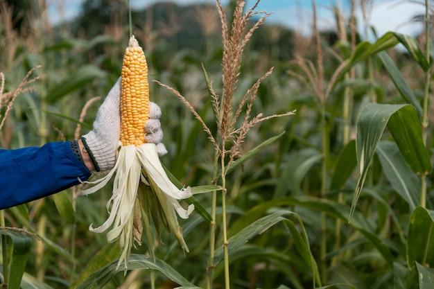 Obraz selektywnej ostrości kolby kukurydzy w polu kukurydzy organicznej.