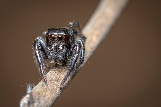Obraz skaczących pająków (salticidae) na gałęzi., owad.