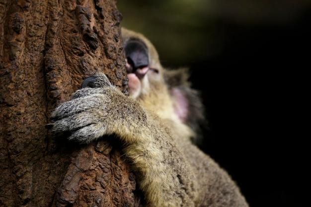 Obraz snu miś koala skupić się na rękę na drzewie. gad. zwierząt.