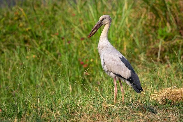 Obraz stada bociana otwartego lub azjatyckiego openbill na przyrodę. dzikie zwierzęta.