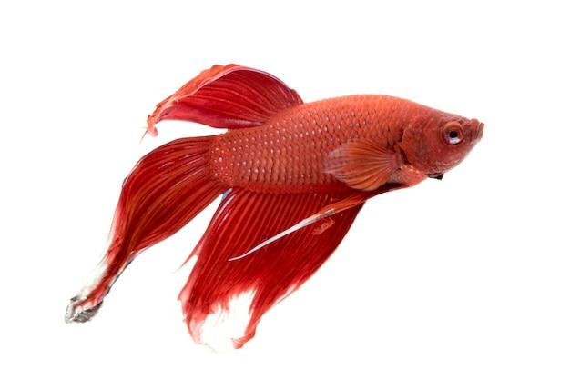 Obraz walczącej ryby. (betta splendens)