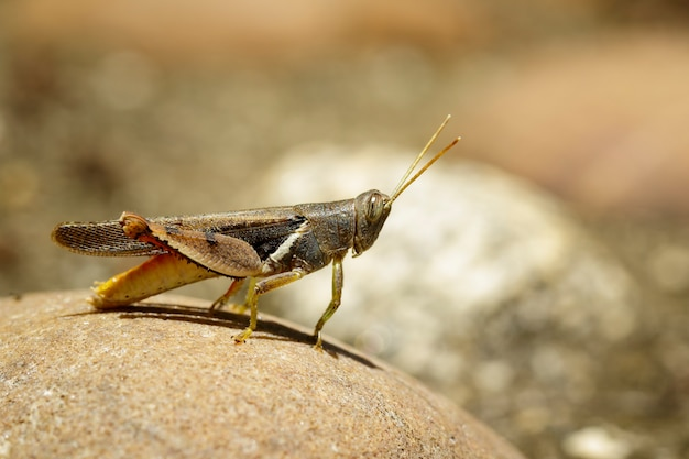 Obraz white-banded grasshopper (stenocatantops splendens) na skale. owad. zwierzę.