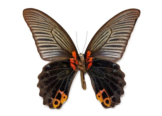 Obraz wielkiego motyla mormona (papilio memmon). owad. zwierzę