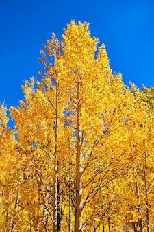 Obraz złocistożółtych drzew osiki jesienią z jasnym błękitnym niebem