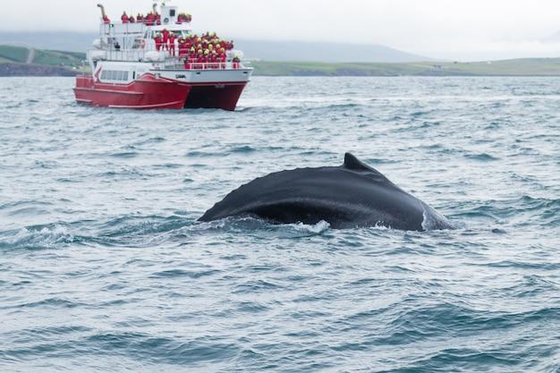 Obserwacja wielorybów z akureyri na islandii. wieloryb w wodzie. dzikiej przyrody