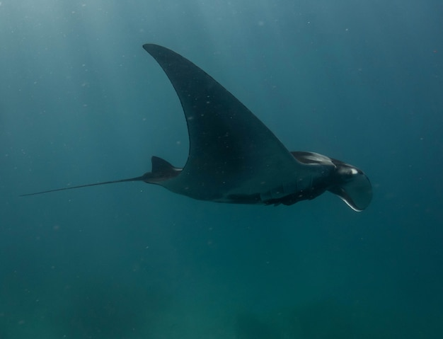 Oceaniczny manta ray