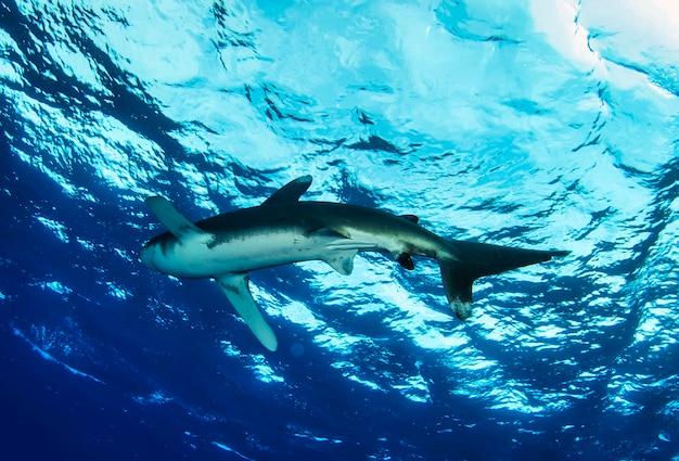 Oceaniczny rekin białopłetwy. carcharhinus longimanus pływanie w morzu czerwonym. rekiny na wolności. życie morskie pod wodą w błękitnym oceanie. obserwacja świata zwierząt. przygoda z nurkowaniem w morzu czerwonym, wybrzeże afryki