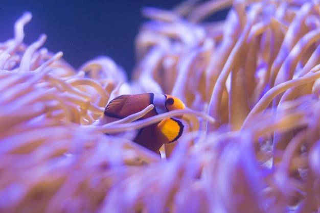 Ocellaris clownfish, anemonefish clown, clownfish, false percula clownfish