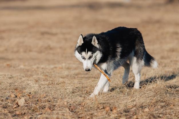 Ochrypły. pies chodzi w naturze. jesienny krajobraz. żółty suszony trawnik. pies trzyma kij w zębach