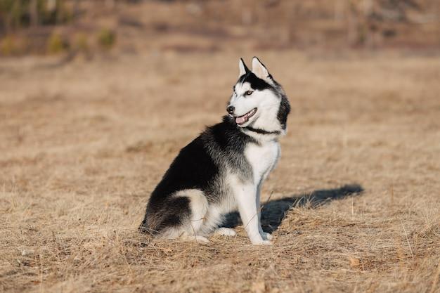 Ochrypły. pies chodzi w naturze. jesienny krajobraz. żółty suszony trawnik.