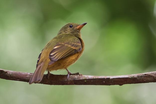 Ocre ptak siedzący na gałęzi drzewa
