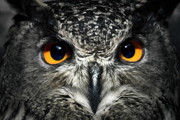 Oczy sowy z bliska. portret ptaka drapieżnego. dzikie zwierze.