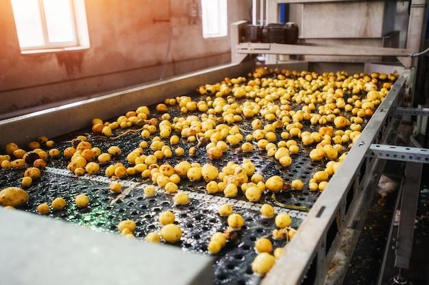 Oczyszczone ziemniaki na przenośniku taśmowym, przygotowane do pakowania