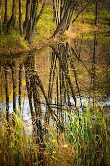 Odbicie prostych pni drzew w wodzie w lesie na wiosnę
