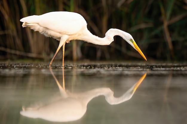Odbicie wielkiego egret polowania na wodzie o zachodzie słońca.