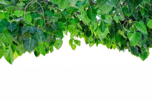 Odcień pokrywy drzewa bodhi na tle