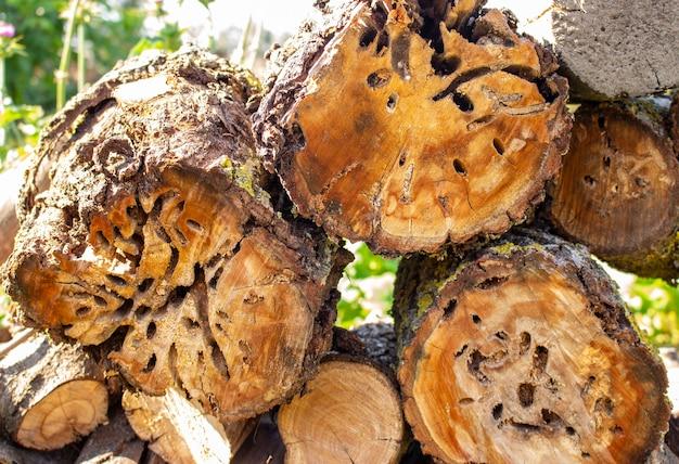 Odcięty pień jabłoni zjedzony przez chrząszcze drzewne. świeżo ścięty pień drzewa.