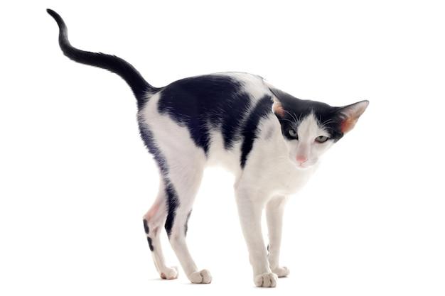 Oddawanie moczu kotowi orientalnemu