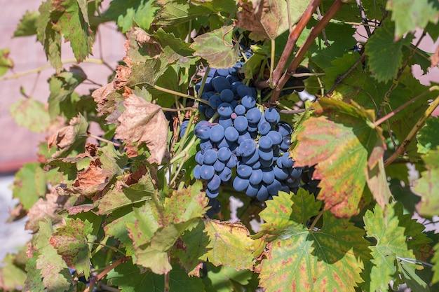 Oddział dojrzałych winogron w ogrodzie. czerwone słodkie jagody rosnące na krzaku winogron w ogrodzie owocowym. ścieśniać