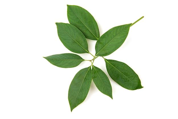 Oddział kamfora zielone liście na białym tle