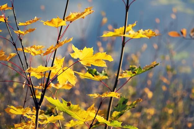 Oddział klonu z żółtymi liśćmi na niebieskiej wodzie rzeki