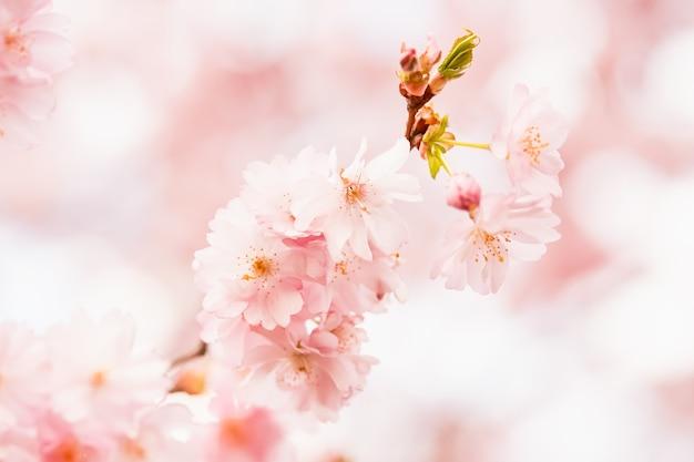 Oddział kwitnący różowy kwiat wiśni sakura gałąź w rozkwicie wiosna tło kopia przestrzeń