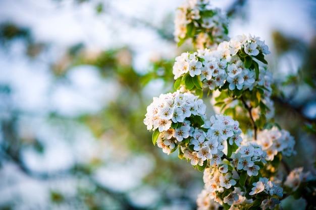 Oddział kwitnienia gruszy. kwitnący wiosenny ogród. zbliżenie gruszka kwiaty. niewyraźne tło.