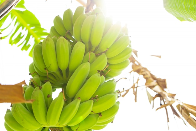Oddział owoców bananowych. zieleni banany wieszają na drzewie