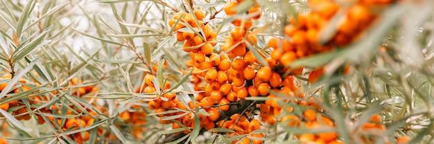 Oddział pomarańczowe jagody rokitnika z bliska. dużo przydatnych jagód rokitnika na krzaku o zielonych liściach. jagoda, z której powstaje olej. nieostre lub mała głębia ostrości. transparent